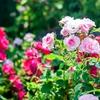 マイ エターナル ソング🥀『The Rose』Ver. 手嶋葵【神曲】