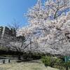 新年度のスタート!8日は桜満開の始業式