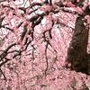 """名古屋市農業センター""""dela ふぁーむ""""へ枝垂れ梅を見に行ってきました"""