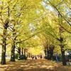 今週が見納め!黄金の絨毯が美しい昭和記念公園の銀杏並木