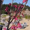 霊園風景 その51 「‥春の詩  寒緋桜と陽光桜 そして山桜」