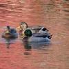 紅葉の池の冬鳥たち~小石川後楽園~