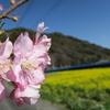 鋸南町の河津桜と菜の花畑が凄く綺麗だった!