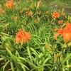 カンゾウの花が咲き始めました。