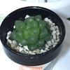 宝もののハオルチアとグリーンネックレスの新芽の色
