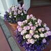 ディズニーランドのお花たち(2月)