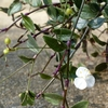 ブライダルベールの花