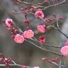 開花率2厘の偕楽園の梅