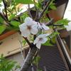 散りかけた数輪の桜