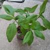 菊芋の水耕栽培(挑戦)