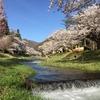 またまた花見へ。猪苗代町 観音寺川の桜並木♪