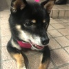 愛犬のよんくろと新宿を散歩♪♪