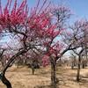 大垣競輪場隣の大垣東公園に梅を見に行った