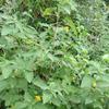 カラスノゴマとカラス何何という植物
