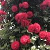 真紅のバラを育てたい(2)