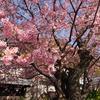 熱海・河津旅行:河津桜の原木