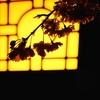 今朝は住吉神社の八重枝垂れから...