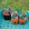 秋どりトマト、キュウリ苗の植え付け