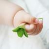 【2人目不妊治療】体外受精1回目(アンタゴニスト法→採卵→受精結果まで)