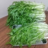 水菜の収穫量がものすごいことになった