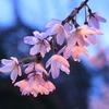 肴のしだれ桜今週が見頃です!!