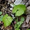 植物と友達になろう! VOL.09 「フタバアオイ」