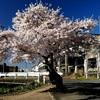 Sakura Shooting 🌸 … 平泉花見散歩