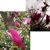 モクレン / マグノリア 赤い花の「モクレン」は以前より減っているように思いますが,近縁「マグノリア」が園芸店では人気のようです.もともとモクレン属には美しい花を咲かせる種類が多いですね.春を告げるコブシ,欧米で人気のタイサンボク----
