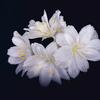 レウィシア(Lewisia cotyledon)