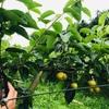 【利府梨の摘心】梅雨に梨の枝を切ると果実が増える話【脱サラ農業】