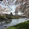 清州城にて満開の桜を愛でるの巻