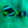 Maafushi Dives