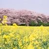 🌸権現堂堤 桜と菜の花の絶景をNikon F3にて撮影📷