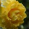 雨もあがって次々開花!! バラの季節到来!!(^o^)