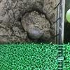 トウブドロガメ繁殖記 8