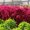 北海道美瑛町にある四季色彩の丘の花畑を見学