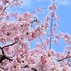 🌸上野公園 入口の桜が満開です🌸