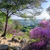 ミツバツツジ咲く網代弁天山と今熊神社ハイキング