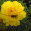 ミツバチに襲われそうになる