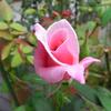 秋のバラ紹介