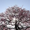 池田市の水月公園にて『梅』と『メジロ』と『ジョウビタキ』