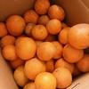 楽天で超わけあり清見オレンジを注文したら、とっても美味しかった話