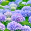 10万本咲き誇る「アジサイまつり」舞鶴自然文化園で開催