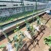 夏野菜の成長記①5月21日