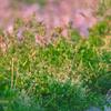 レンゲ草と