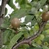 「佐久の季節便り」、「賢治ゆかり・石鳥谷のやまなし」・果実が熟し…。