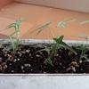 本日は、挿し木で育てているアイビー&プミラのその後④(半年後)のご報告。