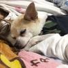 【高齢犬と一緒に過ごす】愛犬のために急遽夜中まで変更する部屋のレイアウト。そして床で寝る生活へ。