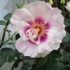 「まつこの庭」の早咲きのバラ