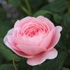 イングリッシュローズが咲き出した